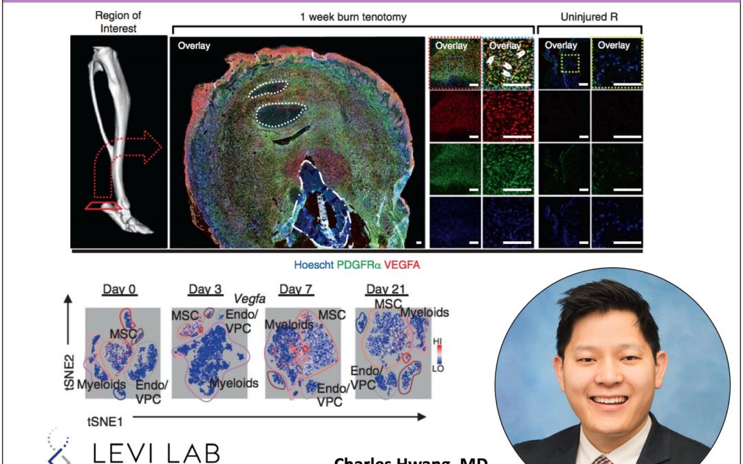 VEGFA is found at the burn/tenotomy injury site - Charles Hwang